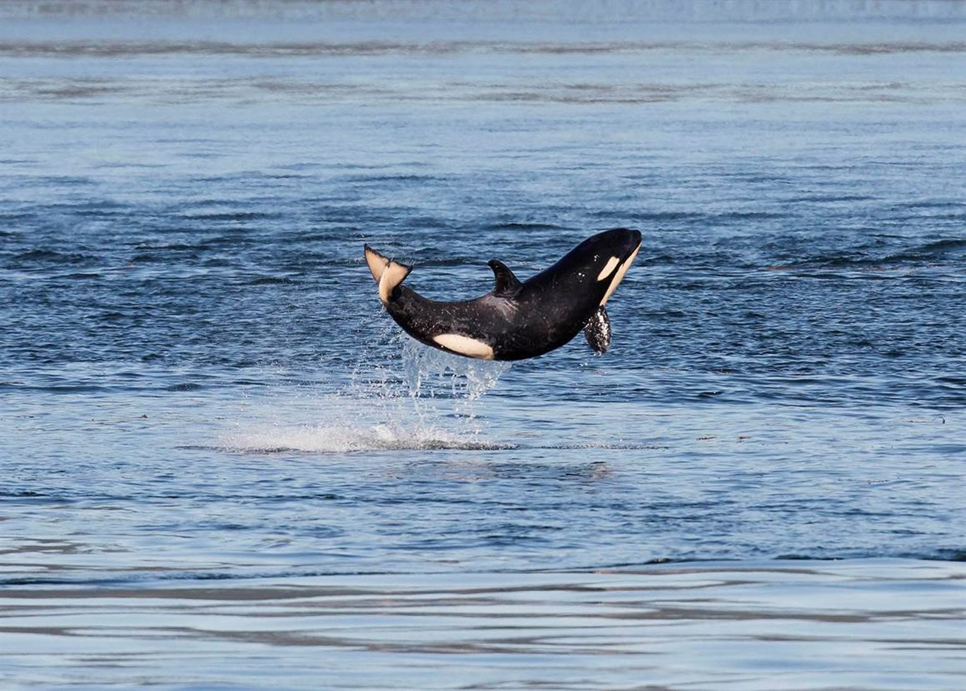 Official July census of orcas: 81 whales, including 4 baby orcas born since  winter