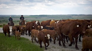 Cowboys move cows northwest of Calgary, on May 28, 2013. The Conservative government says it will move ahead with retaliatory trade measures against the United States in light of a decisive World Trade Organization ruling against American meat labelling.THE CANADIAN PRESS/Jeff McIntosh
