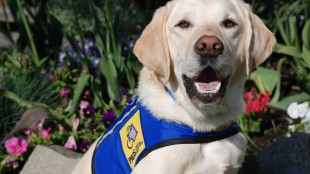 A police dog has helped a 10-year-old girl endure the painful recounting of sexual assault in the first instance a dog has assisted a child testify at trial in British Columbia. The dog named Caber, a seven-year-old yellow Labrador retriever, peacefully laid in a bed at the girl's feet inside the witness box as she spoke from behind a screen on Tuesday, May 26, 2015 at Surrey provincial court. THE CANADIAN PRESS/ho-Delta Police-Kim Gramlich